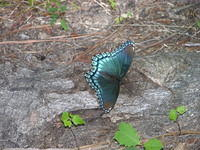 Blue Butterfly - photo by Sherry