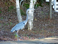 2011-10-16 Lake Royale Blue Heron-6.jpg