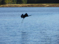 2011-10-16 Lake Royale Blue Heron.jpg